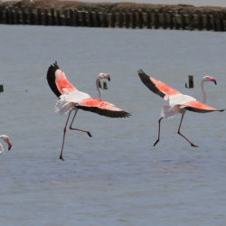 Flamingos in the bay of Polichnitos © Mick Sway by Flickr