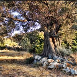 Olive trees © Anna Gkika by Flickr