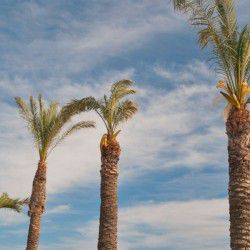 Palm Trees © Michael Osmenda by Flickr
