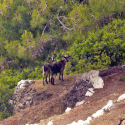 photo of goats, Lihadonisia, travel & discover mysterious Greece
