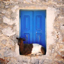 Goat © Benedetta Romani by Flickr