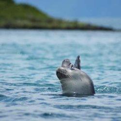Monk Seal © Lichadonisia.com