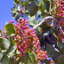 Pistachio of Aegina © Shutterstock