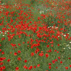 photo of poppies, Tilos, travel & discover mysterious Greece