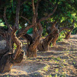 photo of mastic trees, One Million Words, travel & discover mysterious Greece