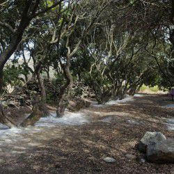 The canopy of the mastic trees provides thick shade and turns the mastic grove to a very cool place. © Masticulture.com
