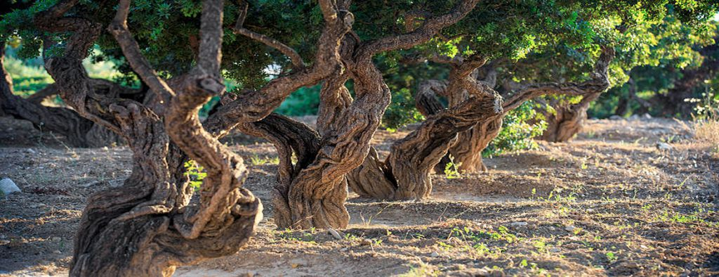 MasticTrees