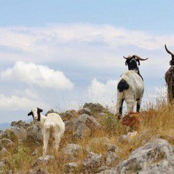 photo of goats, Escapist State of Mind, travel & discover mysterious Greece