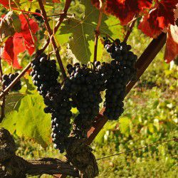 Vineyards of Agios Nikolaos © Mysteriousgreece.com