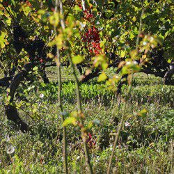 Vineyards of Agios Nikolaos © Mysteriousgreece.com