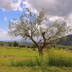 photo of olive  tree, Bucket List, travel & discover mysterious Greece