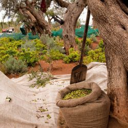 photo of olive  harvesting, Resorts & Villas, travel & discover mysterious Greece