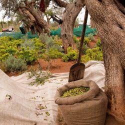 Olive Harvesting © Costa Navarino