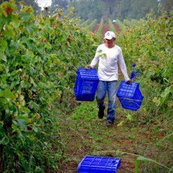 vine-harvesting-in-arcadia